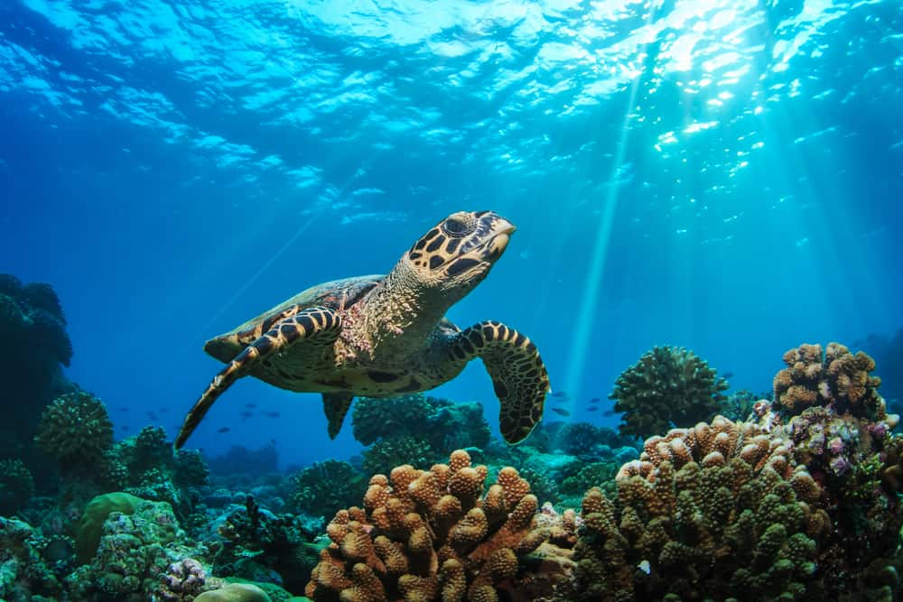 Photo of a large loggerhead, one of the species of sea turtles in Florida.