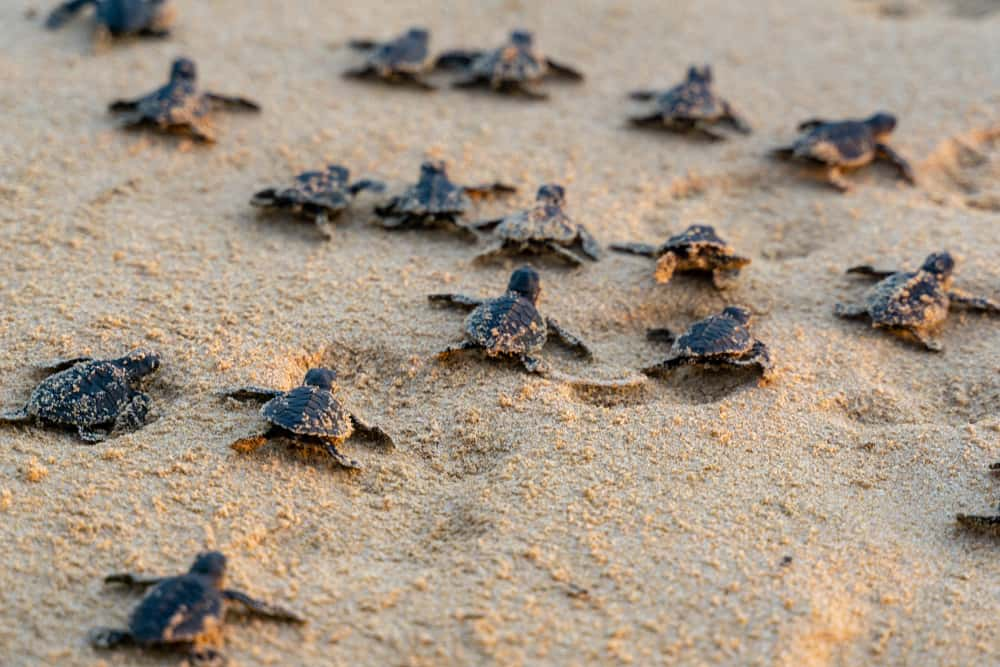Many baby sea turtles in Florida making their way to the water.