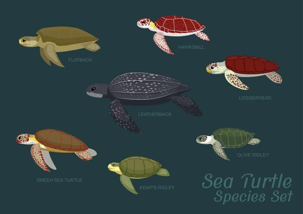Diagram with illustrations of the sea turtles in Florida.
