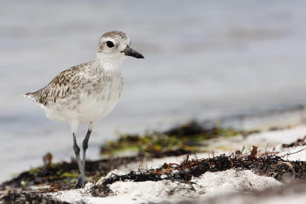 A bird walks along the shores of Curry Hammock State Park.