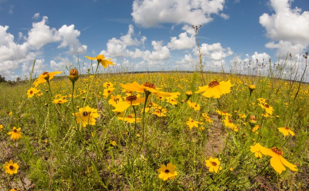 Wildflowers bloom in the plains of Myakka River State Park, one of the best Florida parks.