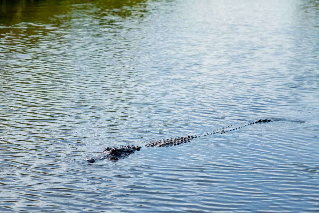 A gator swims beneath the surface of the waters at Gator Beach, one of the best things to do in Destin.