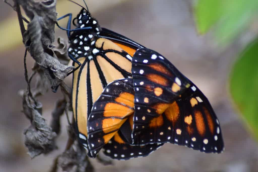 A monarch butterfly rests inside the glass conservatory at the Florida Native Butterfly Society in Fort Myers, Florida.