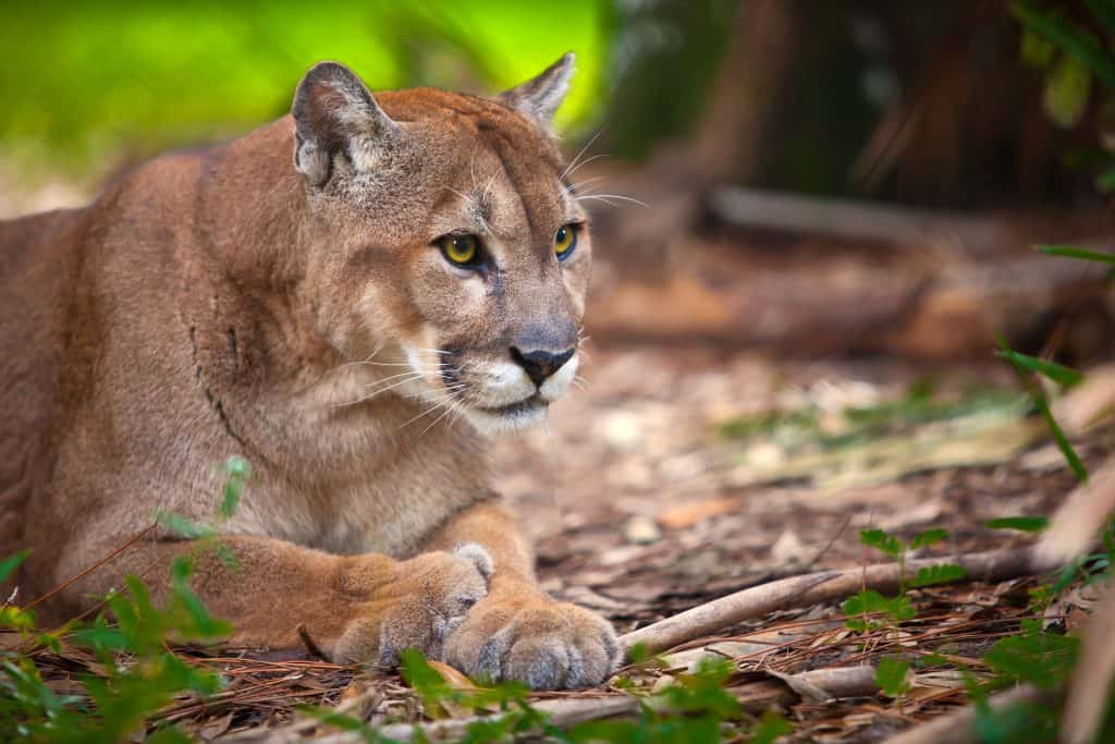 A Florida panther relaxes in the Florida Panther National Wildlife Refuge in Fort Myers, Florida.