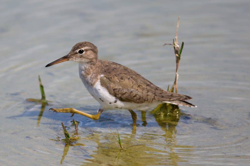 A sandpiper wades in the waters of one of the many man-made lakes at Lakes Regional Park in Fort Myers, Florida.