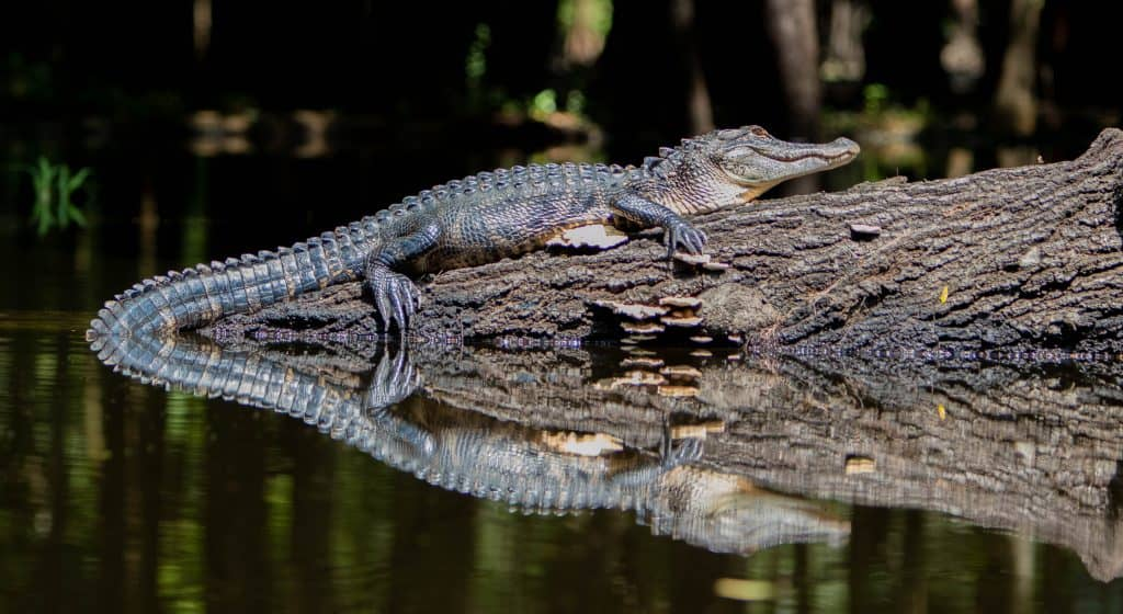 Photo of an alligator on a log with water surrounding.