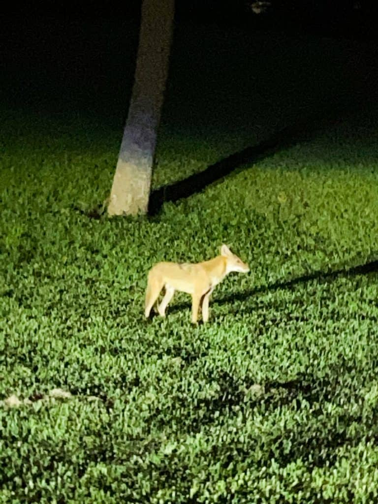 coyotes at Sand Key Park