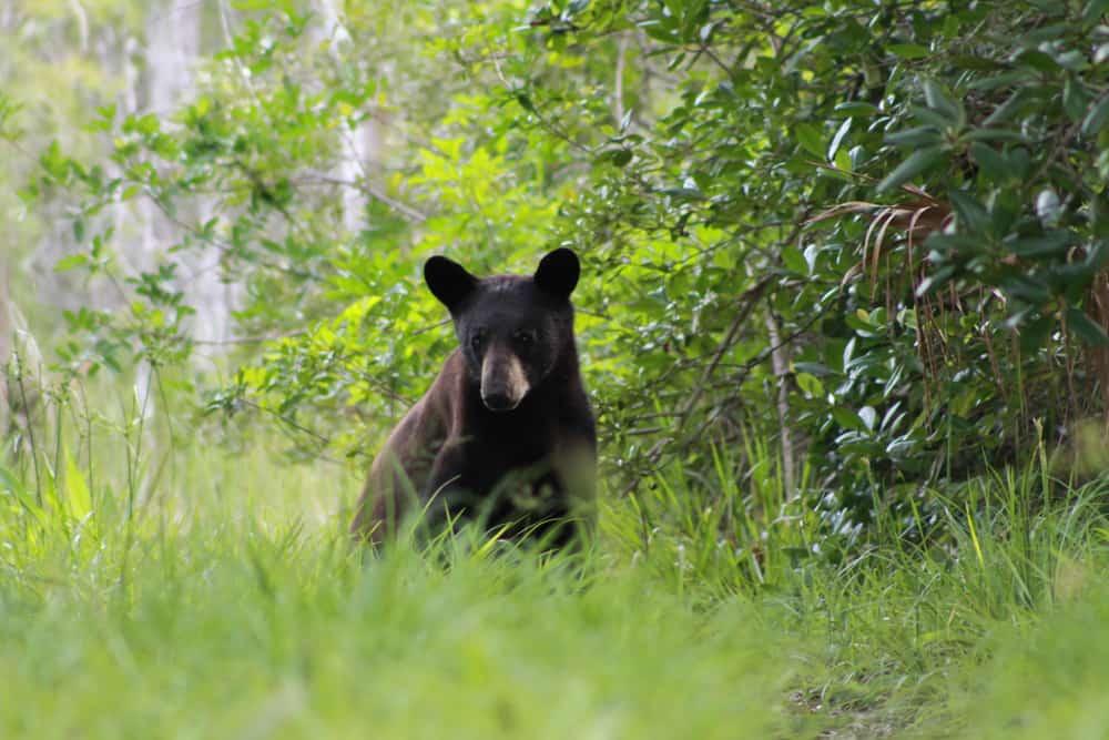 a florida black bear