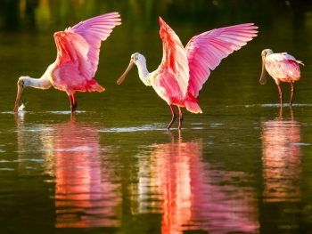 one of the exotic animals in Florida the Roseate spoonbills