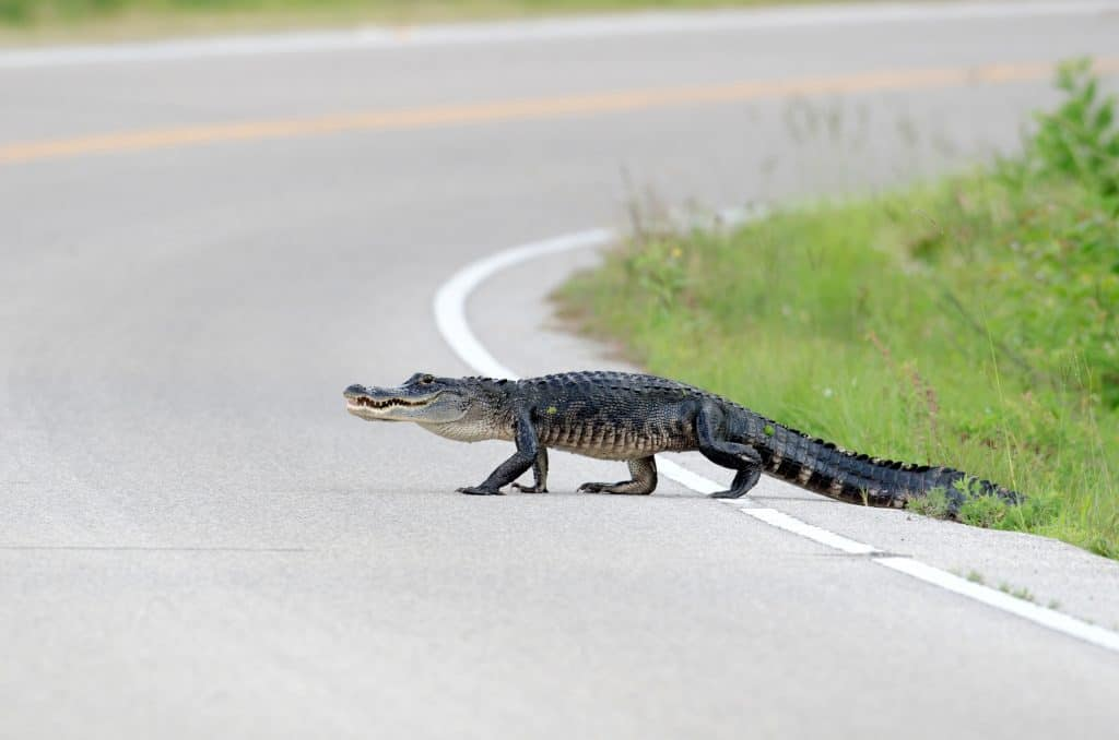 Large American alligator crossing a highway