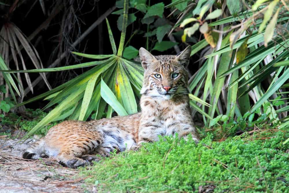 Wild bobcat relaxing in Florida