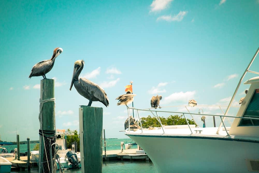 Pelicans near a boat