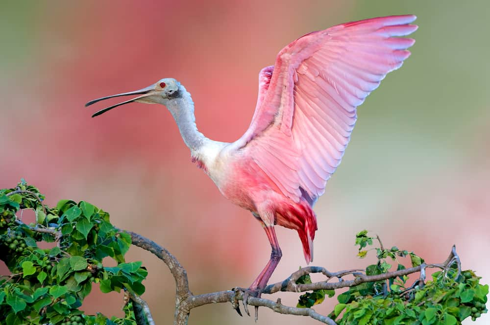Roseate spoonbills a native animal in Florida