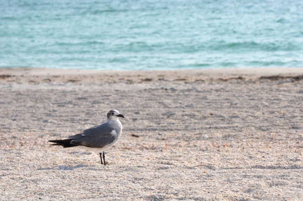 A seagull walks along the sands of Belleair Beach, one of the best beaches in Clearwater.