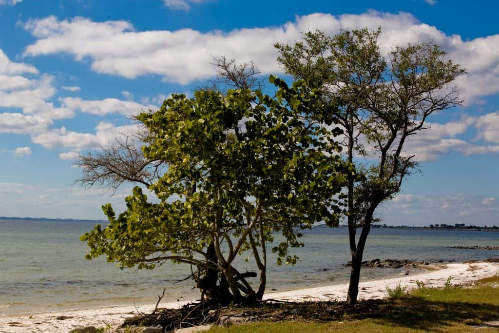 A tree stands in the grass just beyond the shores of Ben T. Davis Beach, one of the best beaches in Clearwater and St. Petersburg Florida.