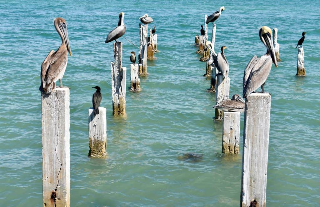 Pelicans perch on posts on Pass-A-Grille Beach.