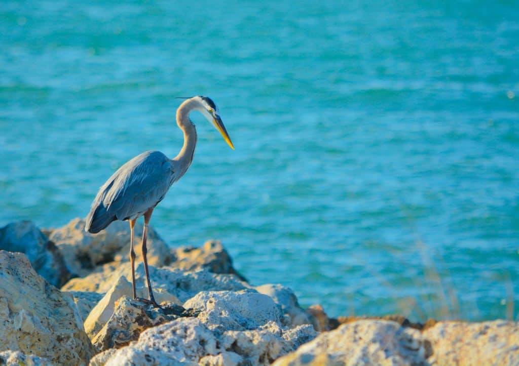A heron perches on the rocky wave breakers at Sand Key Park, one of the best beaches in Clearwater.