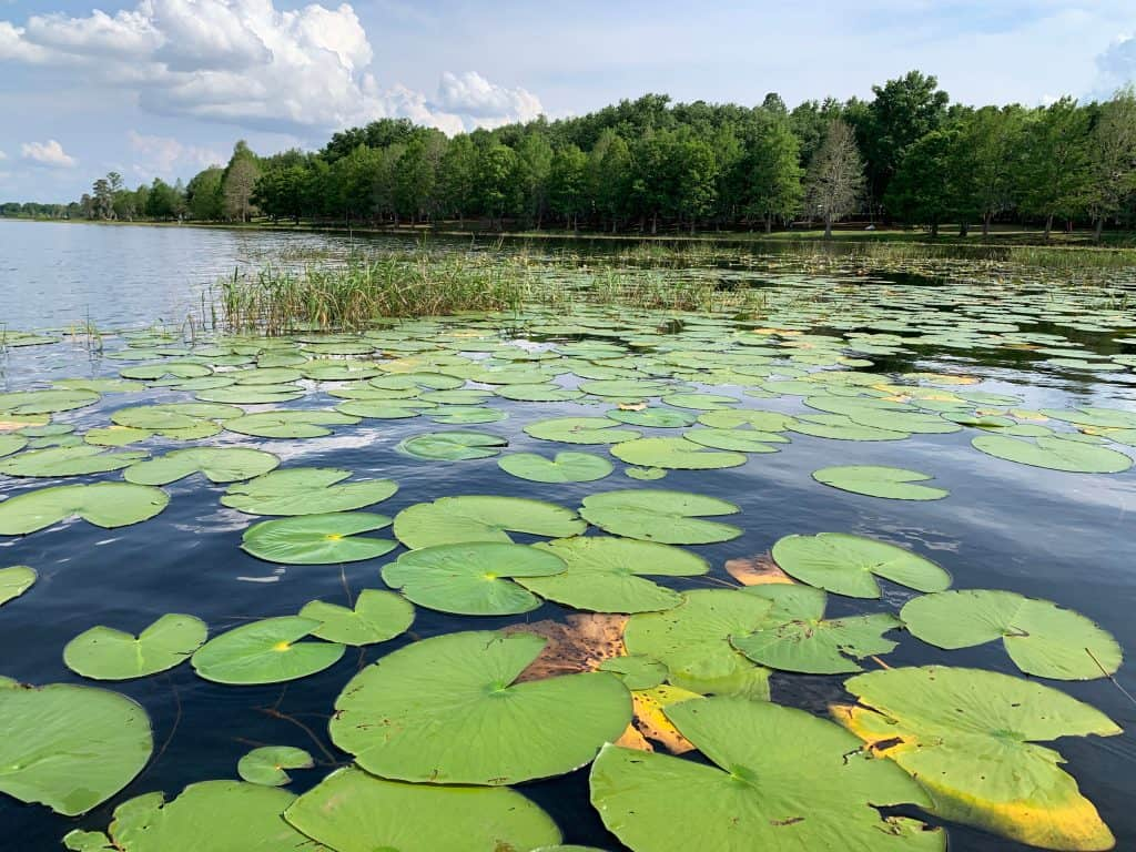 The lily pads of Turkey Lake as seen from Bill Frederick Park, one of the best places for camping in Orlando.
