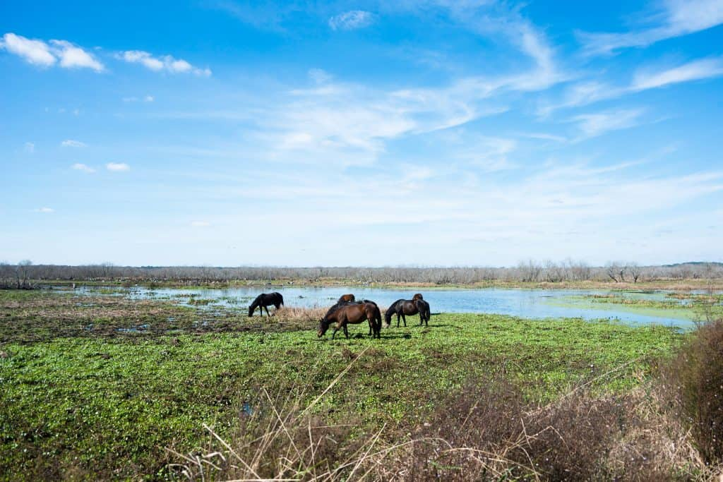 Wild horses graze on the plains of Paynes Prairie Preserve, right in view of the best campgrounds in Florida.