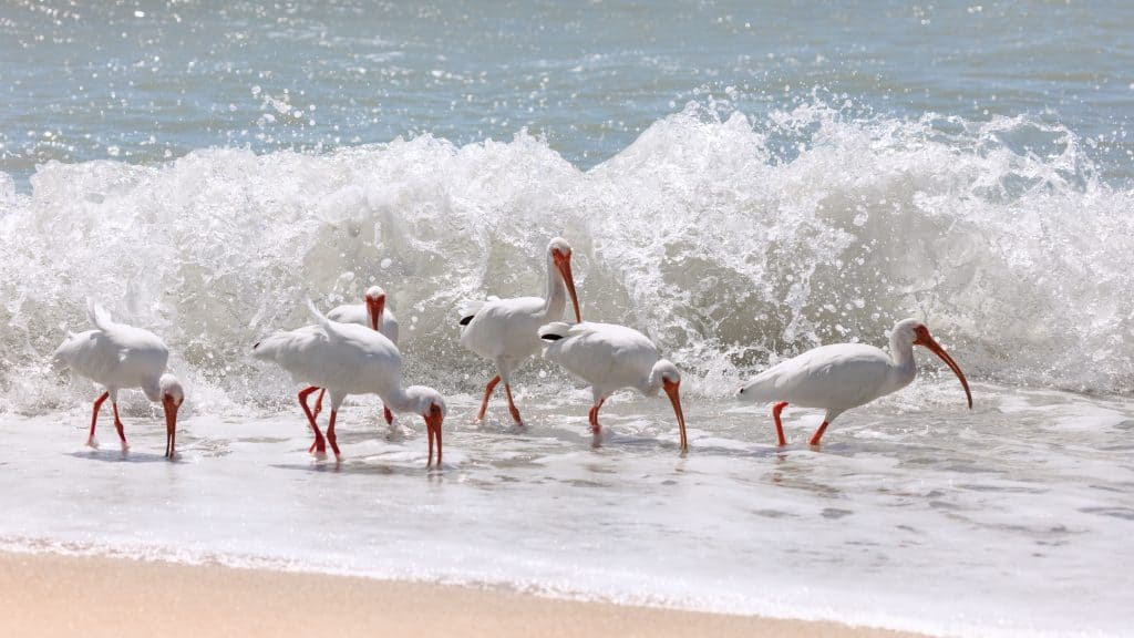 Sandpipers pick at the shoreline of Sanibel Beach, one of the best family beaches in Florida.