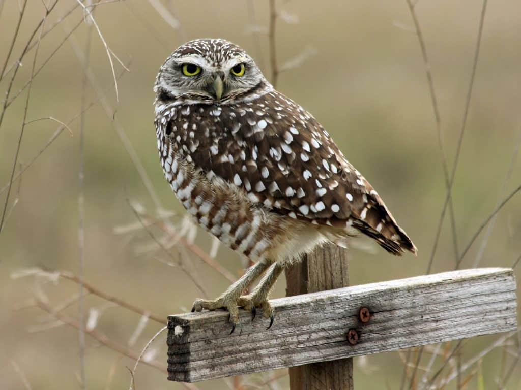 A burrowing owl perches on a post at the Four Mile Cove Ecological Preserve, one of the best things to do in Cape Coral.