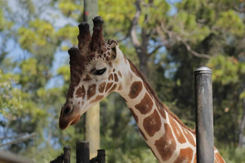 A giraffe looks for leaves from guests at Giraffe Ranch, an example of the wild things in Dade City.