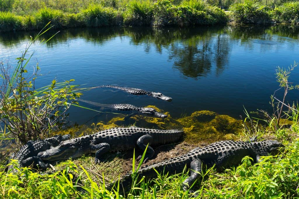 Alligators bathe in the sun on the shores in the Everglades National Park.