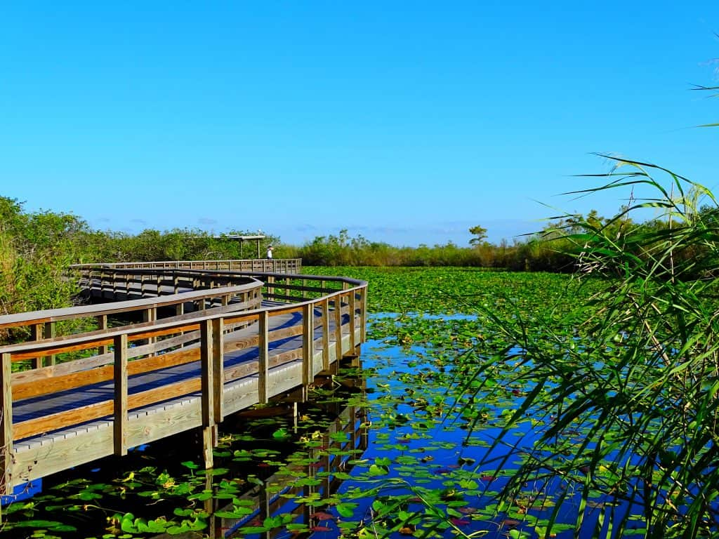 The boardwalk of the Anhinga Trail twists and winds over the marshes of the Everglades, dotted with aquatic plants.