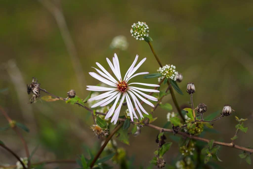 Climbing Aster flowers as seen from the Big Cypress Visitor Center, one of the best things to do in the Everglades.