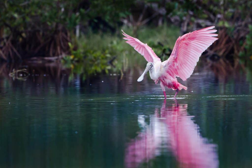A Roseate Spoonbill glides over the waters of Everglades National Park.