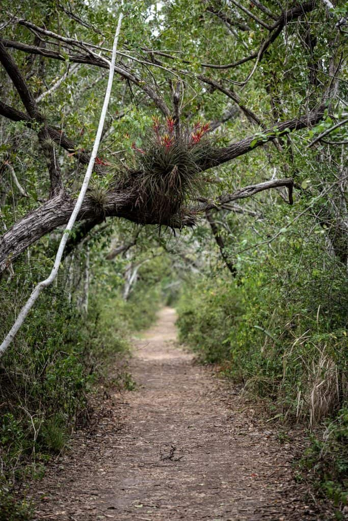 Hanging plants cling to the trees above the Snake Bight Trail leading to the Florida Bay.
