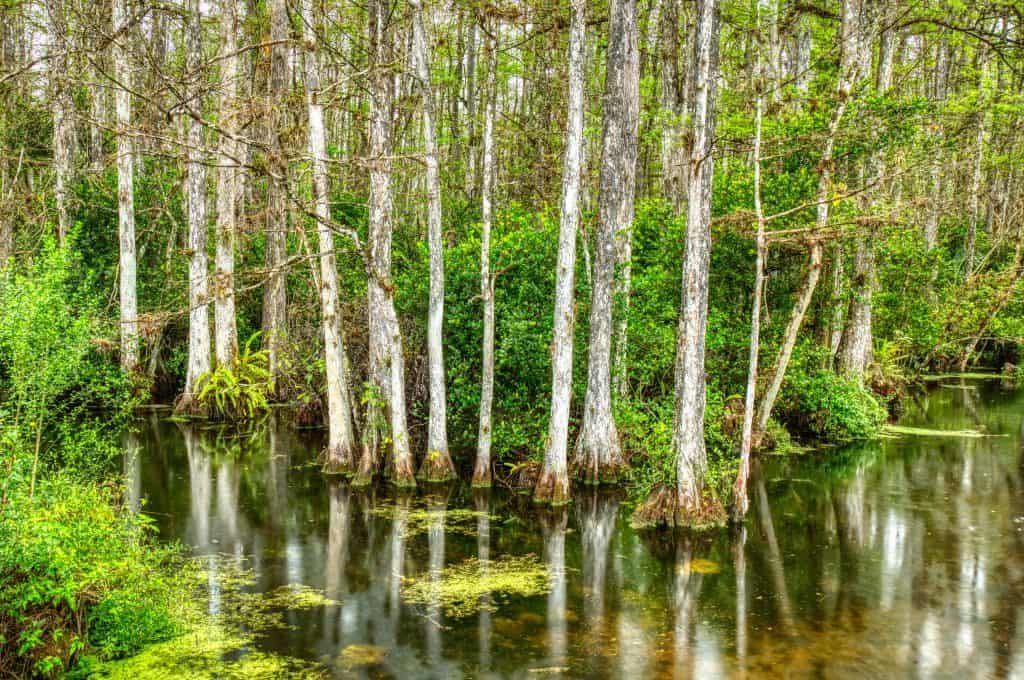 Cypress Trees stand in the marshes in Big Cypress National Preserve, one of the best things to do in the Everglades.
