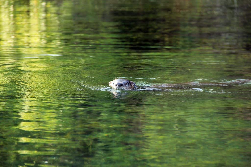 Fittingly, an otter swims in the cool waters of Otter Springs, one of the best Florida springs with camping.
