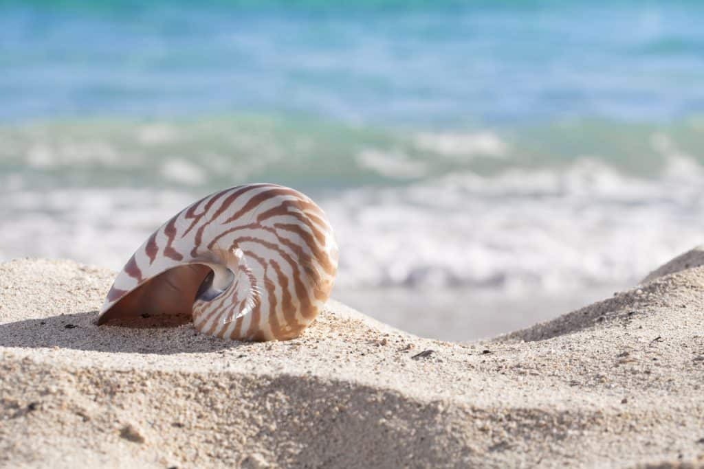 A shell ready to be shelled sits on the sands of the beaches of the Ten Thousand Islands, one of the best things to do in Marco Island.