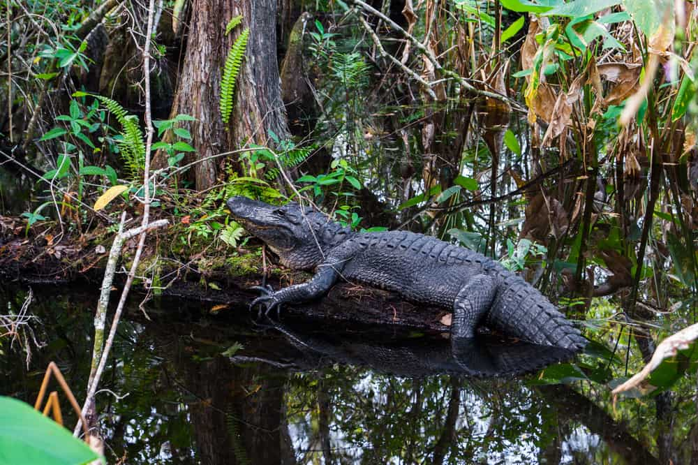 Plan to learn about alligators and their behaviors and the ecosystem in the Everglades National Park