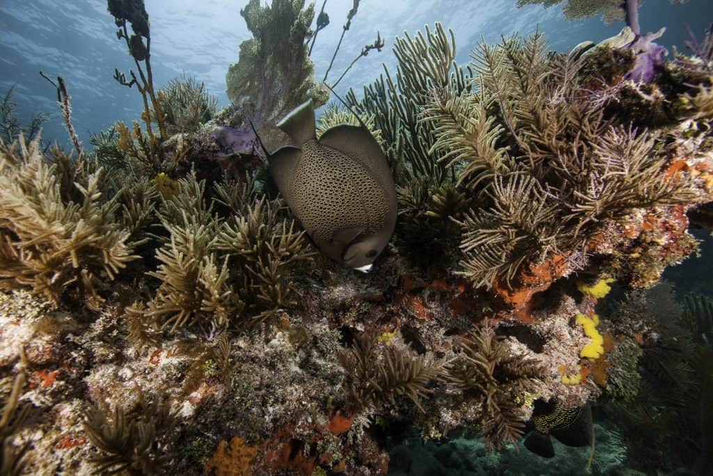 A fish swims in the coral reefs of John Pennekamp Coral Reef State Park.