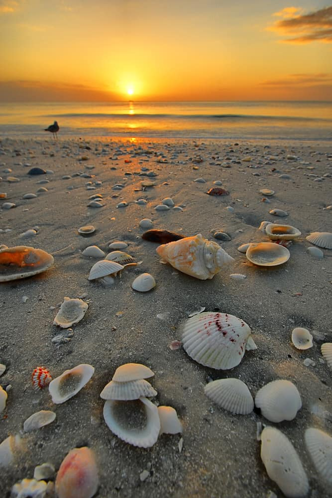 Head to Marco Island if looking for the rare Junonia shells