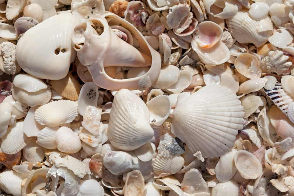 enjoy shelling at some of the best beaches in Florida