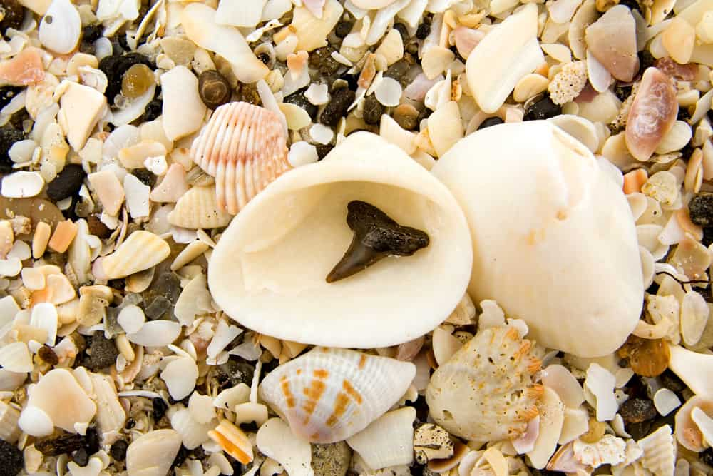 Head to Venice Beach if on the hunt for sharks teeth and seashells in Florida.