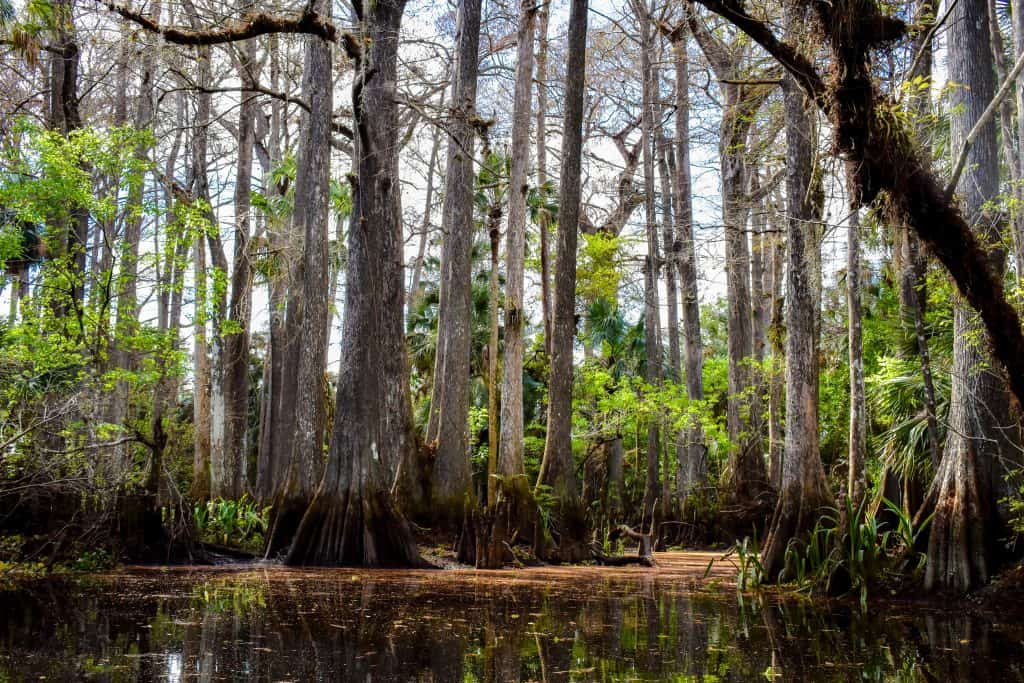 Photo of cypress trees along the Loxahatchee River