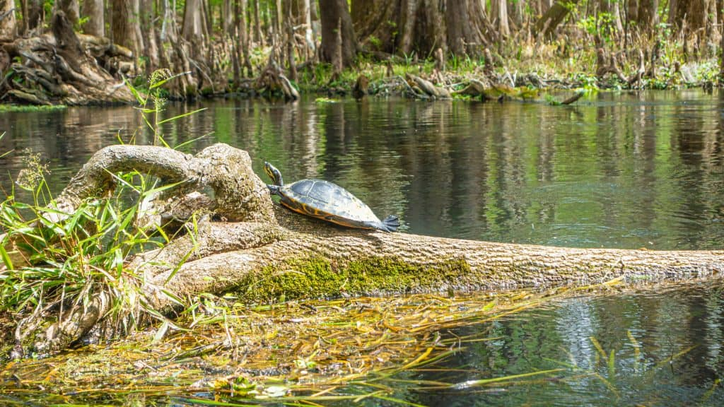 Photo of a turtle sunning on a branch in the Suwannee River