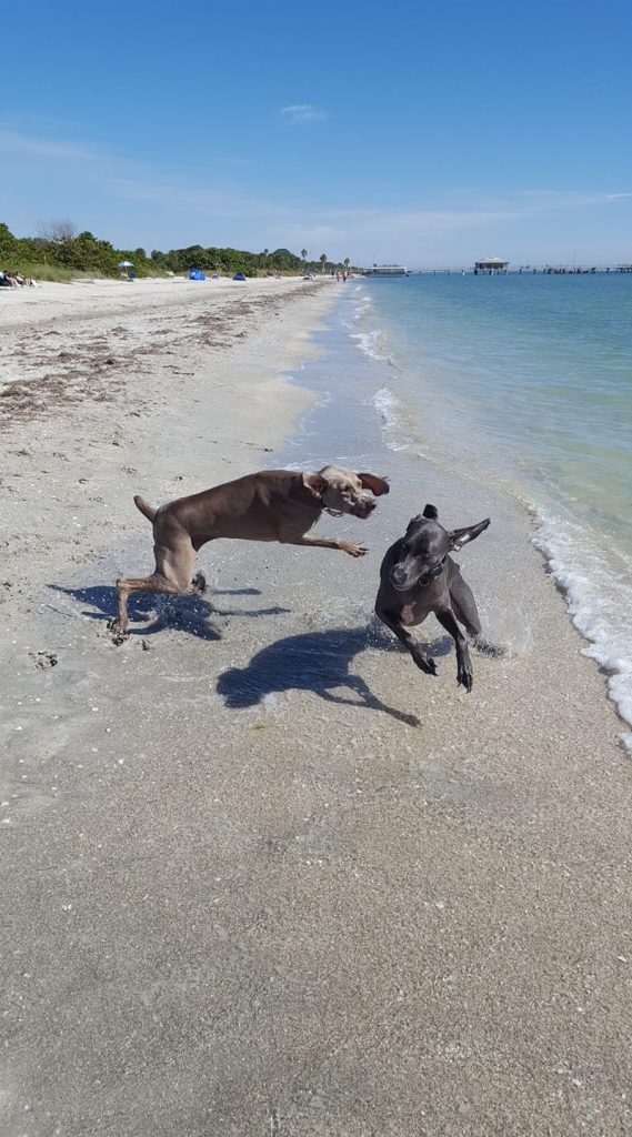 Two dogs run and wrestle on the shores of Bowman's Beach!