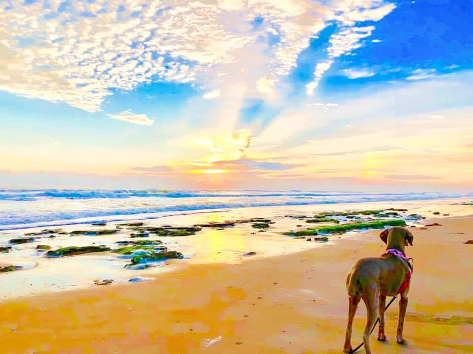 A dog stands on the shores of one of the best dog beaches in Florida, Jungle Hut Beach.