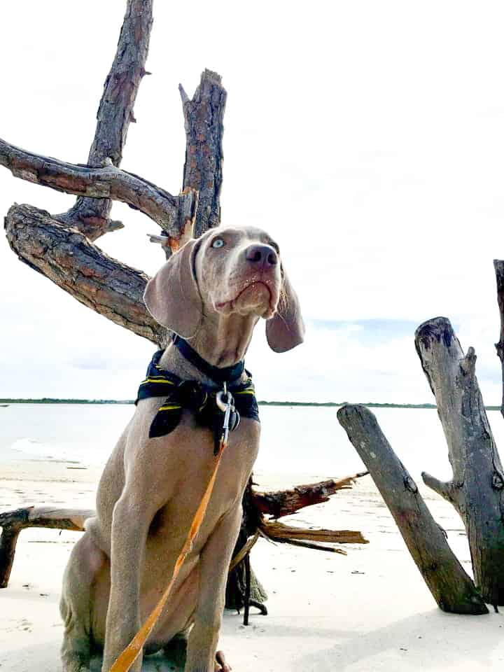 A pup winds her way through the driftwood of Smyrna Beach Park, one of the best dog beaches in Florida.