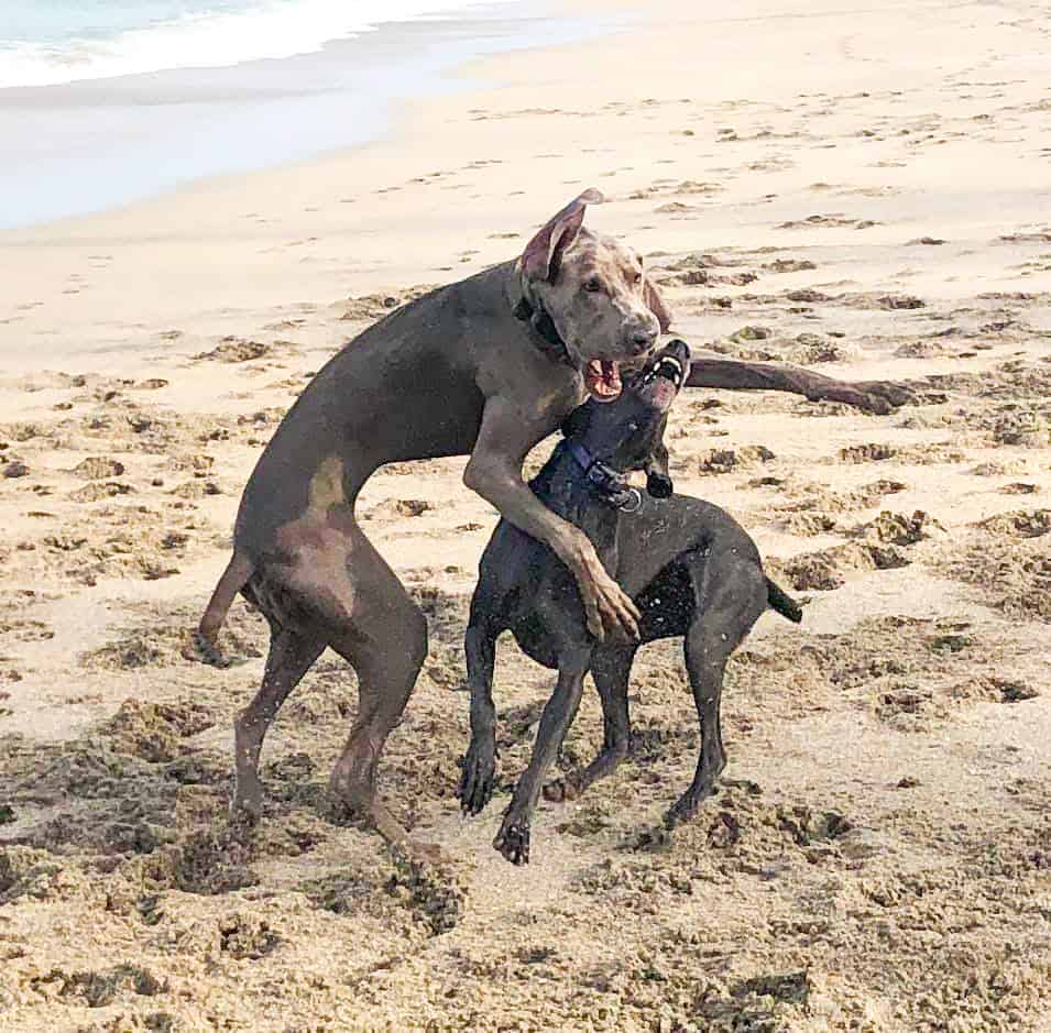 Two pups playfully wrestle on the soft sandy beaches of Walton Rocks, one of the best dog beaches in Florida.