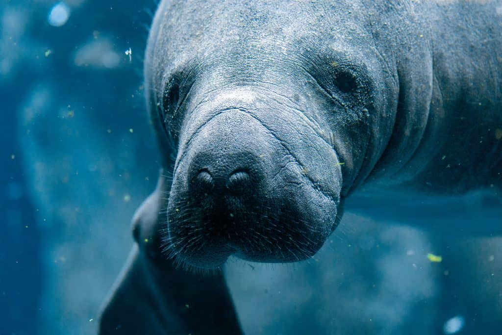 A manatee swims underwater and curiously looks into the camera at Manatee Cove Park, one of the best things to do in Melbourne, Florida.