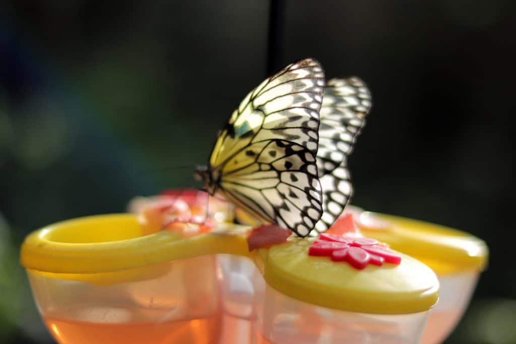 A butterfly sits on a feeder in the Key West Butterfly and Nature Conservatory.