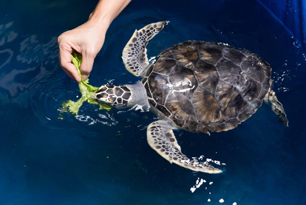 A rehabilitated sea turtle chomps on some greens in the Sea Turtle Hospital.