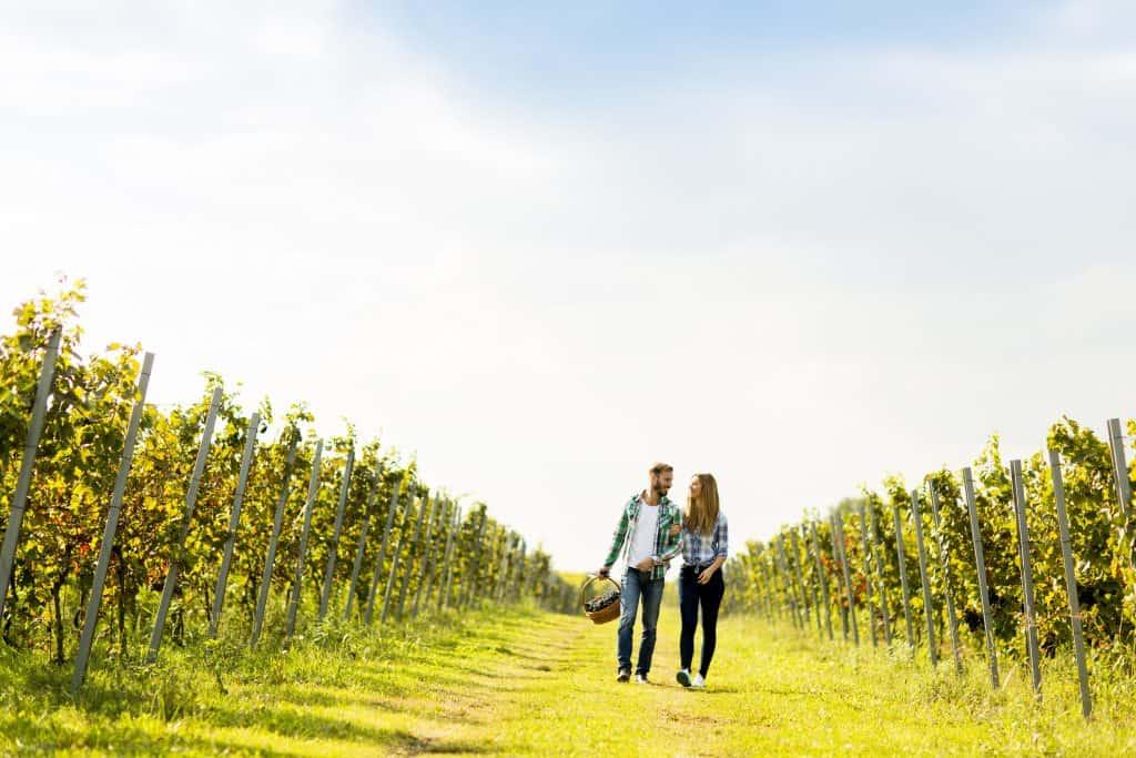 A couple walks through rows of grape trees, picking their own fruit.