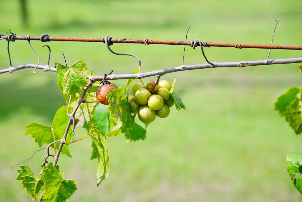 A small cluster of grapes hangs from the vine, supported by a wire.